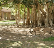 Ein Gedi Hotel, Ibex near the Mini Suites​